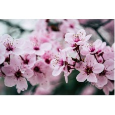 Sakura Extract color cosmetic ingredients, gmp, oem, soap base, oils, natural, melt & pour