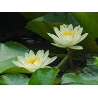 WATERLILY FOREST YKL927711