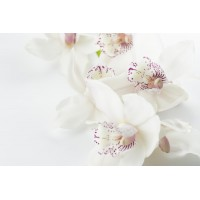 ORCHID BLOSSOM BLISS YKL527711