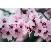 Sakura Extract
